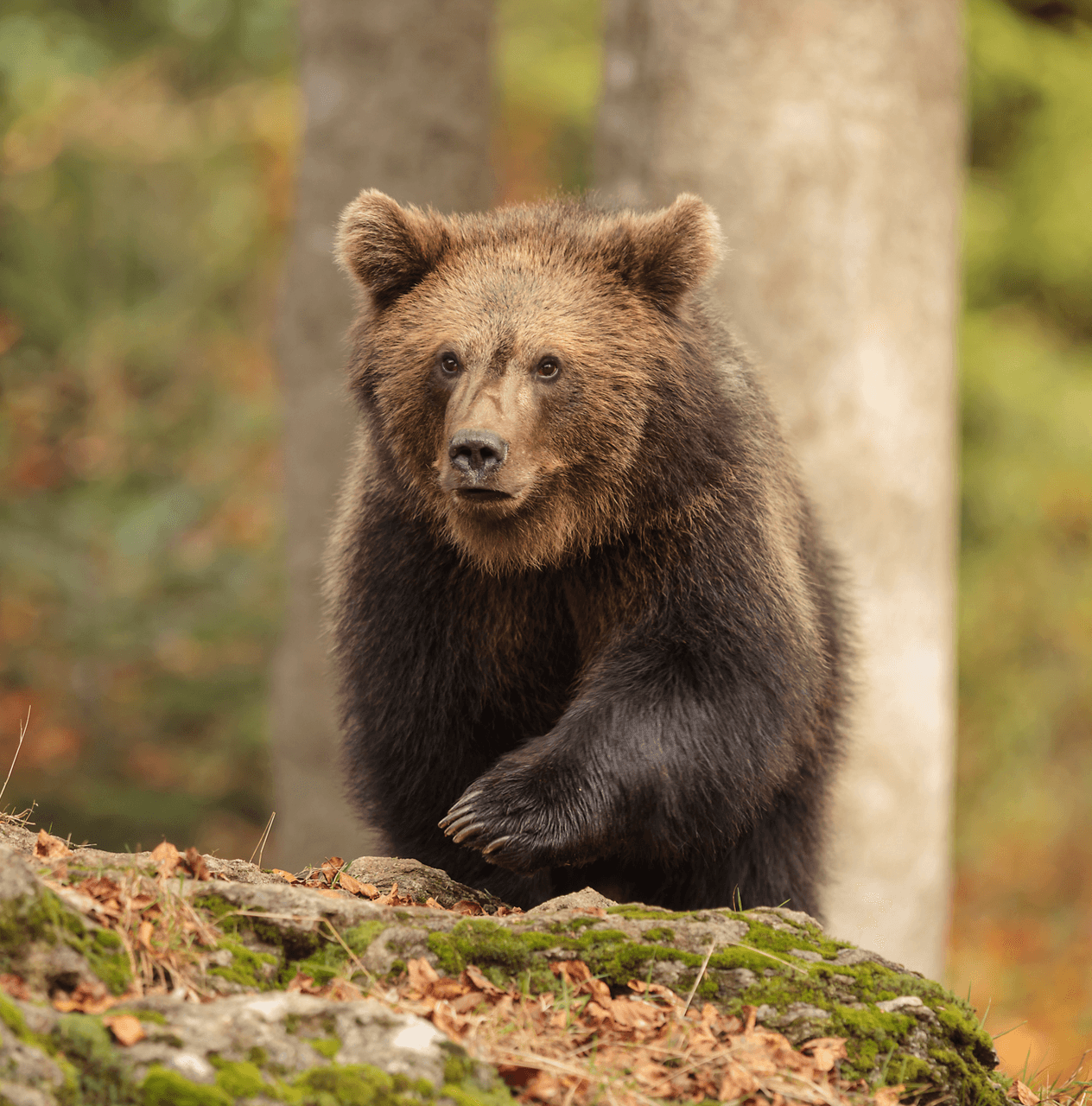 Young brown bear walking through the forest.